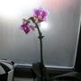 Mini Orchid for my Mini Bathroom