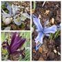 My Iris reticulata varieties (Iris reticulata (Iris))