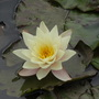Pond Lilly in summer