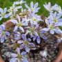 Hepatica nobilis (Liverleaf)