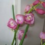 Cymbidium  (Orchid)