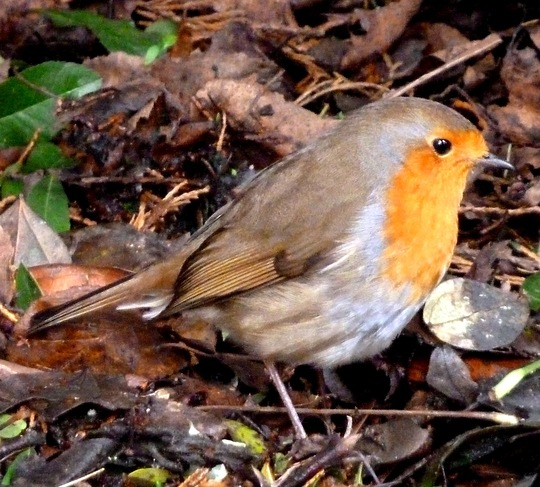 Friendly robin in my back garden.