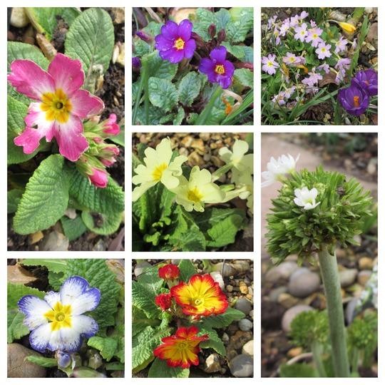 A selection of Primulas. (Primula denticulata (Drumstick primula))