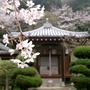 Cherry Blossom and Temple