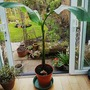 Banana plant..... (Musa basjoo (Japanese banana))