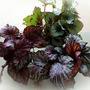 Begonia.... (Begonia rex (King begonia))