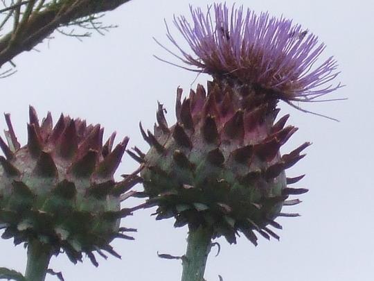 Cynara flowers (Cynara cardunculus (Globe Artichoke))