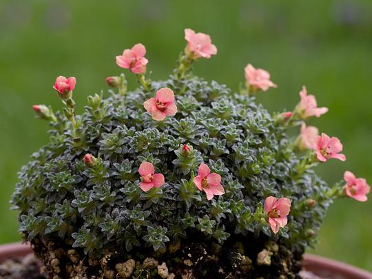 Saxifraga 'Paul Gauguin' (Saxifraga grandiflora)
