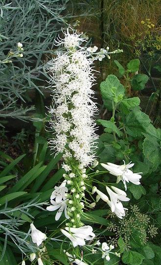 Liatris spicata 'Florestan's White' (Liatris spicata)