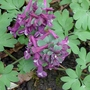 Corydalis_solida_purple_bird_2017