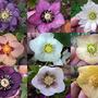 Various Helleborus hybridus  (Helleborus x hybridus)