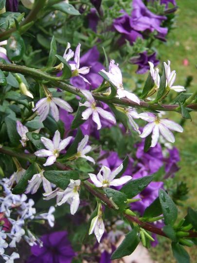 Scaevola in the blue pot. (Scaevola aemula (Fairy fan-flower))