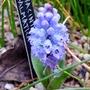 Hyacinthella_dalmatica_grandiflora_2017