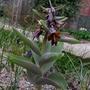 Fritillaria sewerzowii - 2017 (Fritillaria sewerzowii)