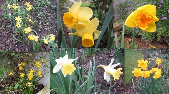 A few Daffodils flowering