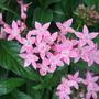 Pink_heliotrope