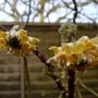 Edgeworthia chrysantha - 2017 (Edgeworthia chrysantha)