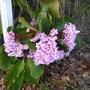 Berginia in flower.
