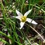 Romulea bulbocodium var leichtlinii - 2017 (Romulea bulbocodium)
