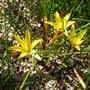 Romulea crocea - 2017 (Romulea crocea)