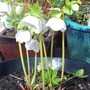 Hellebore White Speckled