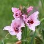 Gladiolus carneus (Gladiolus carneus (Large Painted Lady))