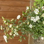 Viburnum Tinus Gwenllian (Viburnum Tinus Gwenllian)