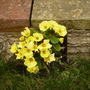 Primula Spring Charm Yellow (Primula Spring Charm Yellow)