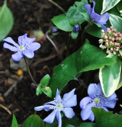 Hepatica transsilvanica Blue Jewel (Hepatica transsilvanica Blue Jewel.)