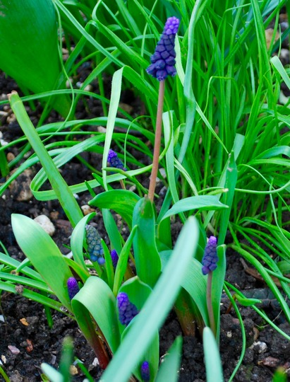 Muscari latifolium (Muscari latifolium..)