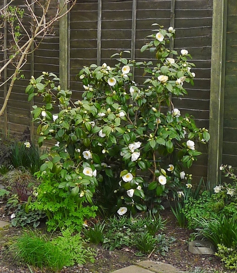 Camellia japonica 'Devonia' - 2017 (Camellia japonica 'Devonia')