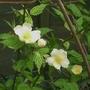 Kerria_japonica_albescens_2017