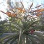 Aloe Flowering (Aloe)