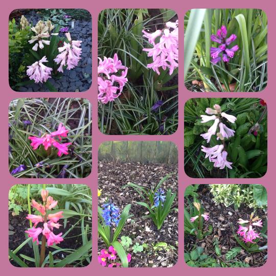 Hyacinths around the garden. (Hyacinthus orientalis (Hyacinth))