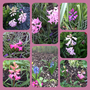Hyacinths around the garden. (Hyacinthus orientalis (Hyacinth))