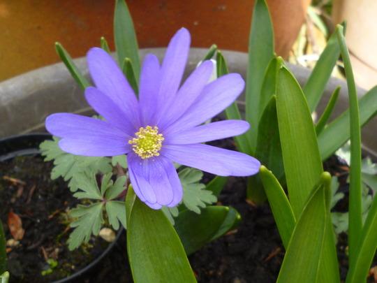 Anemone blanda var caerurlean blue (Anemone blanda)