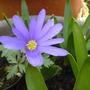 A._blanda_caerulean_blue