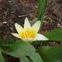 Unknown_tulip