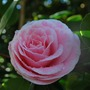 Pale pink Camellia.....