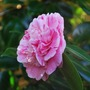 Pink and white Camellia....