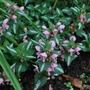 Lamium (Lamium Pink.)
