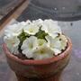 Primula 'Broadwell Milkmaid' (Primula allionii (Allioni's Primrose))