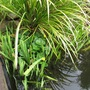 Marsh Marigold (Caltha Palustris 'Flore Pleno')