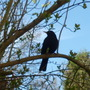Male_blackbird