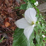 Our first spring in Matawatchan 2011...White Trillium