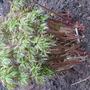 spring 2011- newly transplanted peonie