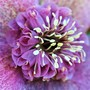 Helleborus x orientalis 'Tutu' - Macro shot.