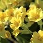 Cowslips macro....just so sunny! (Primula veris (Cowslip))