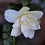 Camellia japonica 'Silver Anniversary' (Camellia japonica)