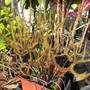 Carnivorous plant (Drosera binata (Forked Sundew))